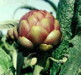 Kiss of Burgundy artichoke globe