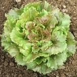 """""""Sierra"""" Batavian lettuce."""
