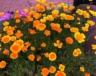 some multi-colored California poppies