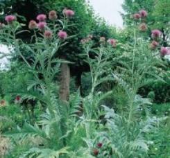 Cardoon plant