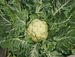 Cauliflowers.