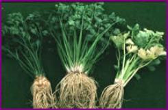 Celeriac plant.