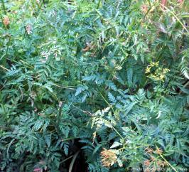 Chervil-root plant.