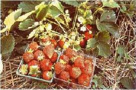 Common strawberries