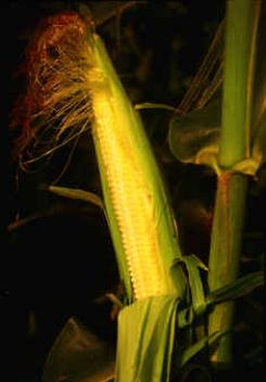 Corn cob on growing stalk.