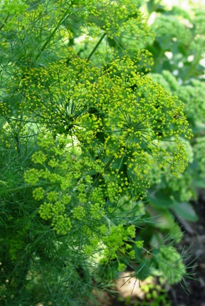 Dill growing