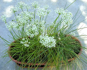 Garlic chives growing
