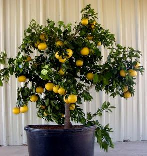 Containerized lemon tree
