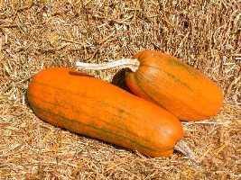 Pumpkin plant.