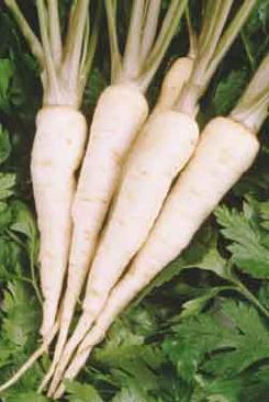 Parsley root.