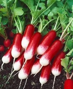 Radish plant.