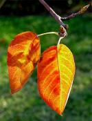 Serviceberry leaf in autumn
