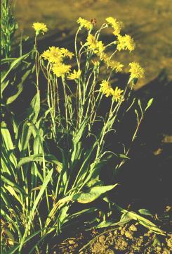 Scorzonera plant.