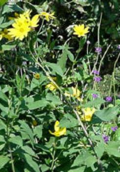 Sunchoke plants.