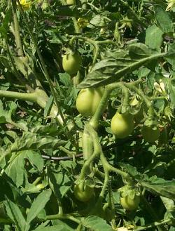 Growing (green) tomatoes.